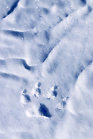 Wolf track in the snow, Alaska's arctic coastal plains.