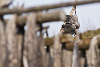 Dead raven used as scarecrow to protect cod stockfish while drying, Steine, Lofoten Islands, Noway