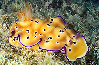 nudibranch or sea slug possibly Chromodoris leopardus, Layang Layang Atoll, Malaysia (South China Sea)