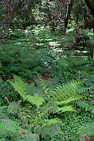 Ferns in forest,El Hierro, Canary Islands, Spain.
