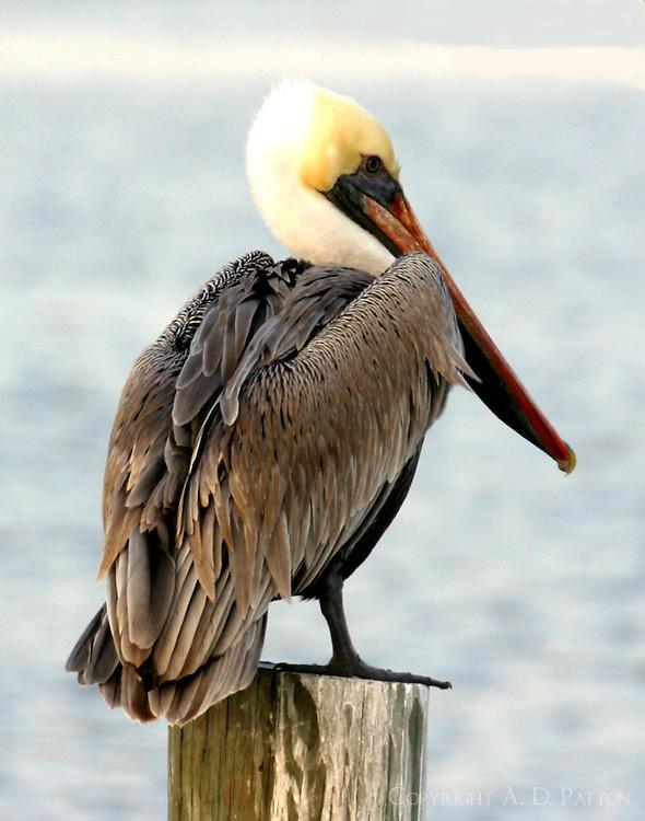 Adult, Atlantic-form, brown pelican in breeding plumage
