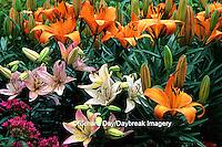 """63821-06920 Asiatic Lily (Lilium sp. """"Pixie Lily"""")  Marion Co.  IL"""