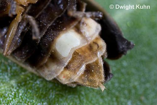1C24-656z  Pyralis Firefly light close-up Female Lightning Bug - Photinus spp