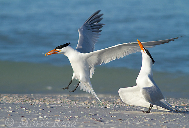 Royal Terns (Sterna maxima) pair, one flying in with fish, about to start courtship behavior, Fort DeSoto Park, Florida, USA