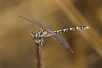 389030023 a wild male gray sanddragon progomphus borealis perches on a twig at frenchmans flats along piru creek los angeles county california united states