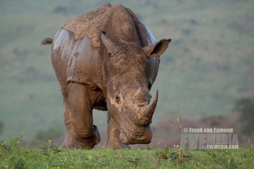 White Rhinoceros Charge (Ceratotherium simum)..Hluhluwe-Imfolozi Game Reserve, Kwazulu-Natal, South Africa. November 2010.