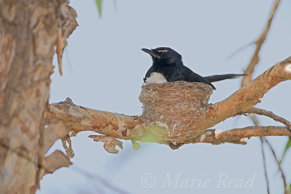Willie Wagtail (Rhipdura leucophrys) at nest, Fogg Dam, near Darwin, Northern Territory, Australia.