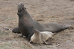 Elephant seal bull with female and pup
