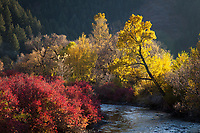 Provo River in Autumn Fall Colors, Utah, USA.