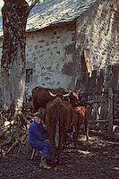 Europe/France/Auvergne/15/Cantal/env de Mandailles: Traite des vaches de race Salers au buron pour la préparation en estive du fromage AOC Cantal [(Photo d'Archive: 1985)