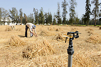 EGYPT, Bilbeis, Sekem organic farm, desert farming, manual harvest of wheat / AEGYPTEN, Bilbeis, Sekem Biofarm, Landwirtschaft in der Wueste, Ernte von Weizen