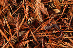 Yellow-eyed Ensatina (Ensatina eschscholtzii xanthoptica) salamander camouflaged on forest floor, Muir Woods National Monument, California