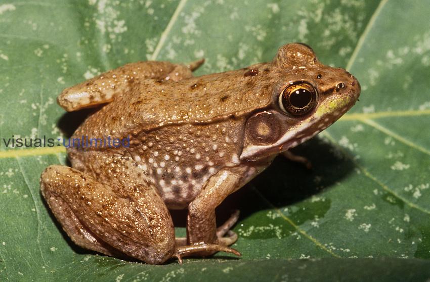 Northern Green Frog (Rana clamitans melanota), North America.