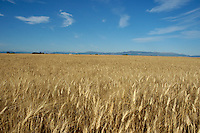 French Alps behind golden wheat field, Valensole, Provence, France.