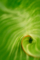 Close up of Hosta leaf. Hughes Water Gardens. Oregon