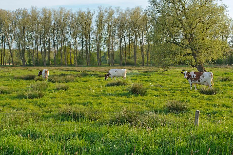 Weiland met populieren singel, Sterrebos - Brabants Landschap