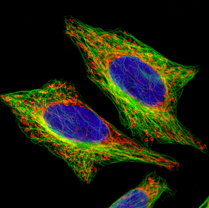 HeLa cells showing the<br /> Nucleus (blue) stained with TOPO-3 dye, Mitochondria (red) stained with Mitotracker dye, and Microtubules (green) stained by antitubulin antibody followed by Alexa green coupled second antibody. Confocal Microscopy.