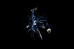 Cleaner Shrimp  Larva - Decapoda - Caridea - Lysmatidae -Lysmata sp.
