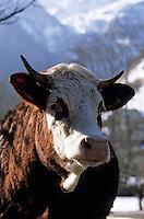 """Europe/France/Rhône-Alpes/74/Haute-Savoie/Env d'Abondance: La vache de race Abondance """"Souris"""" de Liliane Berthet (fermière à Charmy-l'Envers)"""