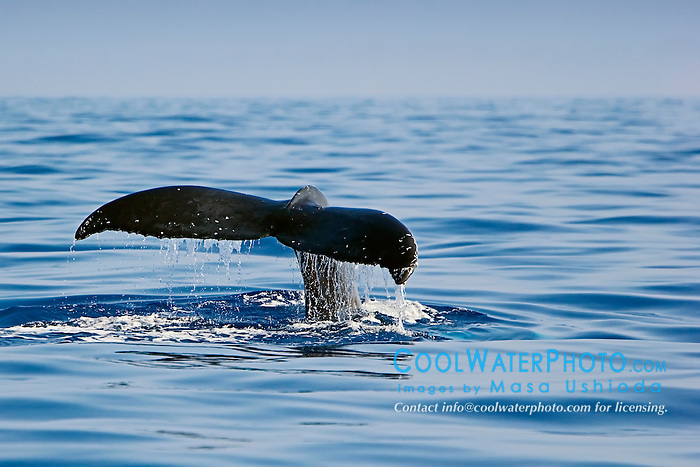 Humpback Whale fluke-up dive, Megaptera novaeangliae, Hawaii, Pacific Ocean