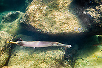 A trumpetfish gliding along the reef at Shark's Cove, O'ahu.