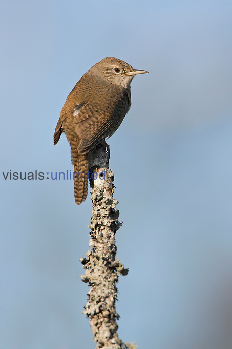 House Wren (Troglodytes aedon) perched on a branch in Ontario, Canada.