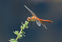 362700034 male band-winged meadowhawk sympetrum semicintum wild california