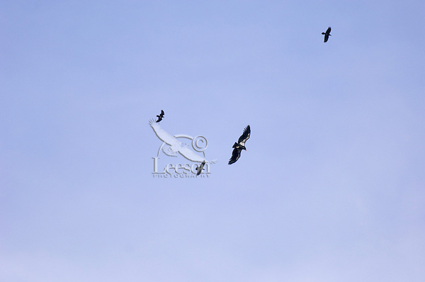 California Condor (Gymnogyps californianus) soaring with ravens on thermals.  Southwestern U.S.  Note:  All but one of the hundred plus wild california condors in North America are number tagged and fitted with a radio wing clip so biologists can track them.  The one unmarked condor is a wild born juvenile that has not been captured at this time (biologists are planning to try and capture it this winter).