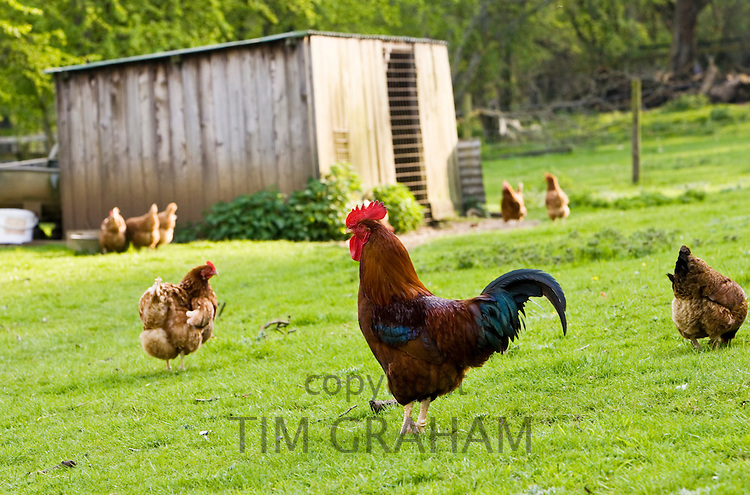 Free-range cockerel and hens in pasture, Chedworth, The Cotswolds, Gloucestershire, England, United Kingdom