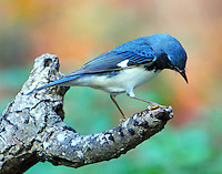 Adult male black-throated blue warbler