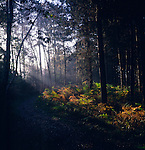 Light shining sideways into coniferous forest glade