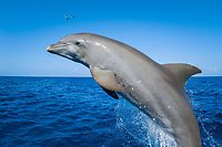 Bottlenose Dolphin Tursiops truncatus Caribbean Sea Honduras