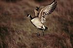 Canada goose, Seattle, Washington