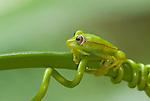 Polkadot Treefrog (Hyla punctata punctata) in Peruvian Amazon