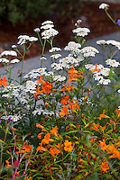 Mimulus 'Jelly Bean Orange' and Achillea millefolium, Monkeyflower and Yarrow, California native plants, Heath-Delaney garden