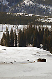 USA, Wyoming, Yellowstone National Park, a pack of wolves roam around a ridge on Blacktail Deer Plateau