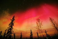 Rare red aurora borealis over spruce and birch trees in Fairbanks, Alaska.