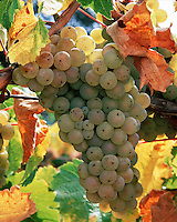 Close up of a cluster of Chardonnay grapes on the vine in the Santa Ynez Valley. Vineyards. California.