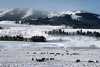 Bison at Lamar Valley in winter, snow, Yellowstone National Park. Wyoming, Yellowstone National Park.