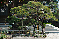 A sacred pinus tree outside the Shinto shrine has to be supported as it is so old and gnarled