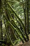 Moss covered trees in the rain forest. Lynn Valley canyon park, North Vancouver, British Columbia, Canada.