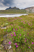 Eskimo potato wildflowers and aufies on the Marsh Fork of the Canning River. the river comprises the western border of the Arctic National Wildlife Refuge in the Brooks Range mountains, Alaska.