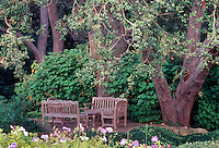 Quercus agrifolia (Coast Live Oaks); wooden benches in sitting area under large trees