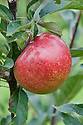 Apple 'James Grieve', mid September. A Scottish dessert apple bred by James Grieve in Edinburgh and first recorded in 1893. Once grown widely throughout northern Europe.