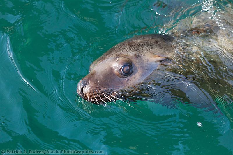 Steller sea lions, Bull head, Prince William Sound, southcentral, Alaska