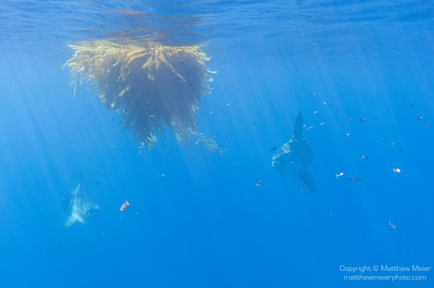 San Diego, California; a pair of Ocean Sunfish, or Mola mola, swimming beneath a kelp paddy in the Pacific Ocean