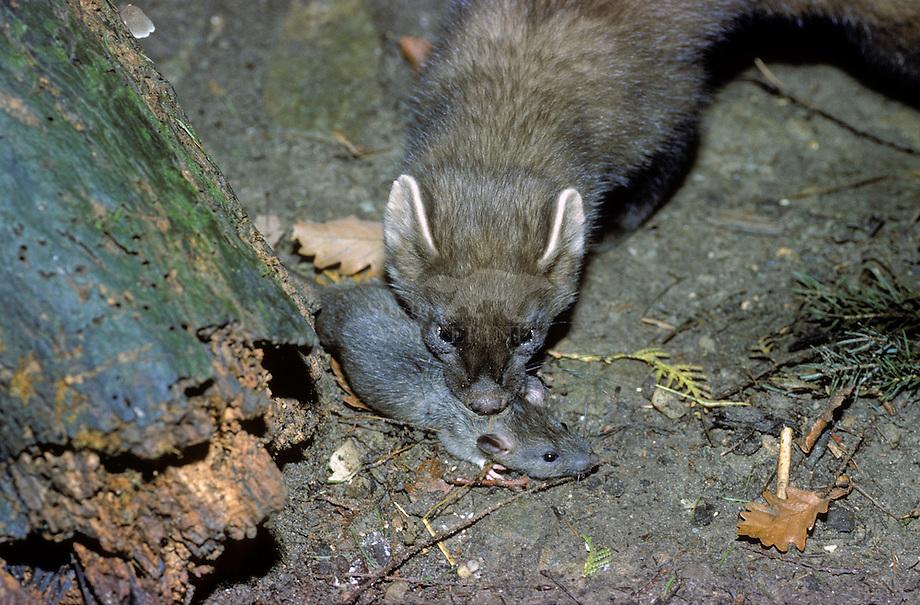 Bruine rat (Rattus norvegicus) ten prooi aan boommarter