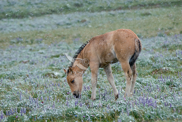 Wild Horse or feral horse (Equus ferus caballus) colt grazing among wildflowers during July snow.  Western U.S., summer.