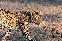Africa, Zambia, South Luangwa National Park, leopard