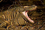 A Komodo dragon with it's mouth wide open, resembling a python. Dragons have tiny teeth and lots of patience. Their infectious saliva will kill prey over days or weeks. They then eat the carcass by twisting off and gulping down massive chunks of flesh, muscle and bone.